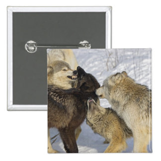Pack of wolves interacting 2 inch square button