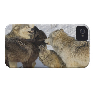 Pack of wolves interacting iPhone 4 Case-Mate cases