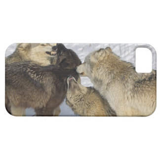 Pack of wolves interacting iPhone 5 cases