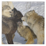 Pack of wolves interacting large square tile