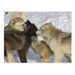 Pack of wolves interacting post card