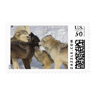 Pack of wolves interacting postage