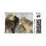 Pack of wolves interacting postage stamps