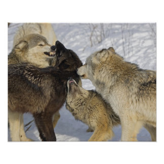 Pack of wolves interacting poster