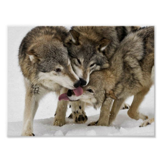 Pack of wolves poster