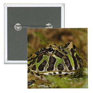 Pacman frog, Ceratophrys cranwelli or South Button