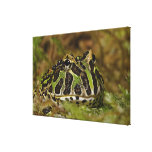Pacman frog, Ceratophrys cranwelli or South Canvas Print