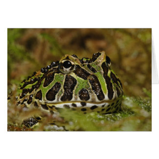 Pacman frog, Ceratophrys cranwelli or South Card
