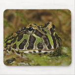 Pacman frog, Ceratophrys cranwelli or South Mouse Pad