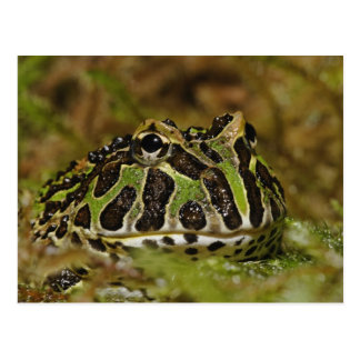 Pacman frog, Ceratophrys cranwelli or South Postcard