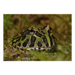 Pacman frog, Ceratophrys cranwelli or South Posters