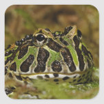 Pacman frog, Ceratophrys cranwelli or South Square Sticker