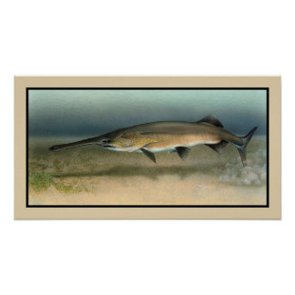 Paddlefish americano de Mississippi Posters
