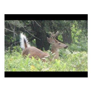 ¿Padre de Bambis? Tarjeta Postal