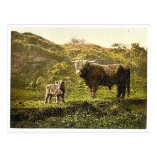 Padre e hijo (ganado) de la montaña, obra clásica  tarjetas postales