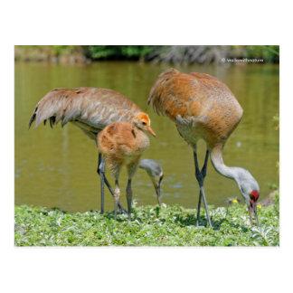 Padres y polluelo de la grúa de Sandhill Postales