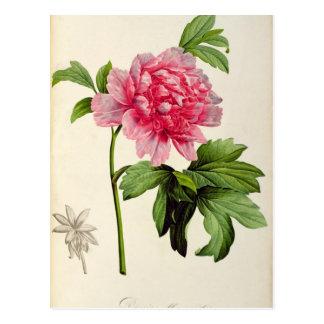 Paeonia Moutan, c.1799 Postcard