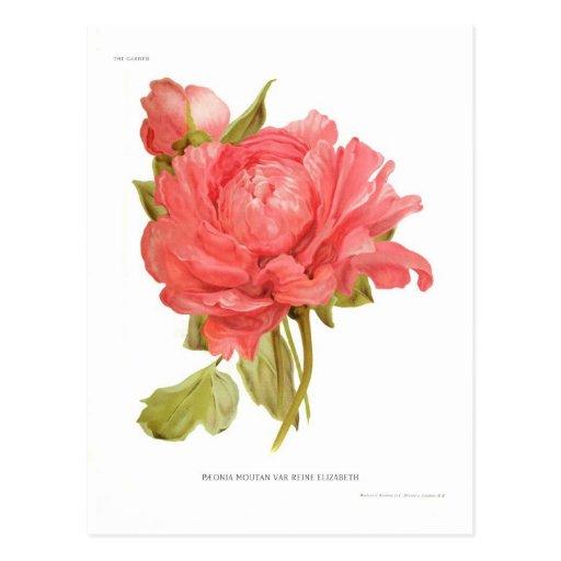 Paeonia moutan var Reine Elizabeth Post Cards