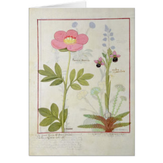 Paeonia or Peony, and Orchis myanthos Card
