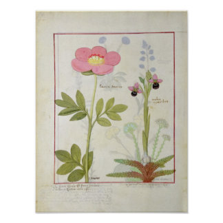 Paeonia or Peony, and Orchis myanthos Poster