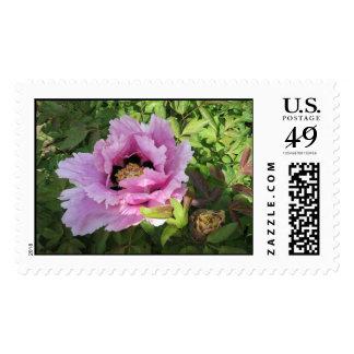 Paeonia Rockii (Pink) Stamp