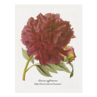 Paeonia suffruticosa 'deep blood-coloured moutan' post cards