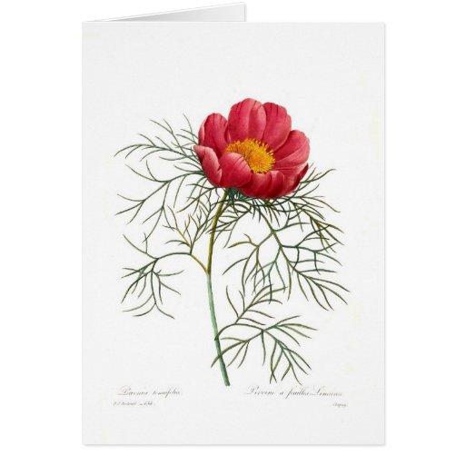 Paeonia tenuifolia greeting card