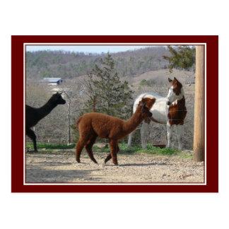 Paint Horse Alpaca Postcard