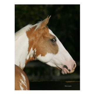 Paint Horse Headshot 2 Postcard