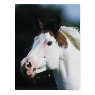 Paint Horse Headshot 3 Post Cards