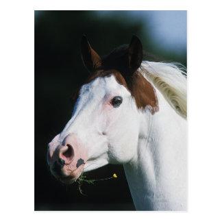 Paint Horse Headshot 3 Postcard