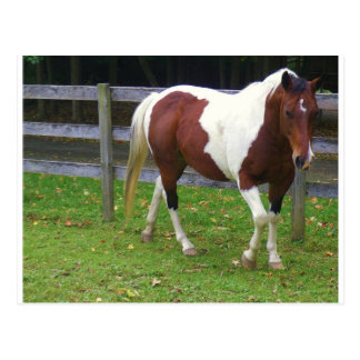 Paint Horse in the Pasture Postcard