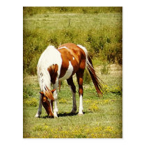 Paint Horse Postcard