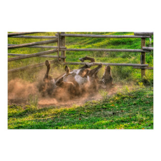 Paint Horse Rolling in Dust Funny Equine Photo Poster