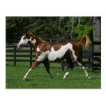 Paint Horse Running 1 Post Card