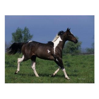 Paint Horse Running 2 Postcard