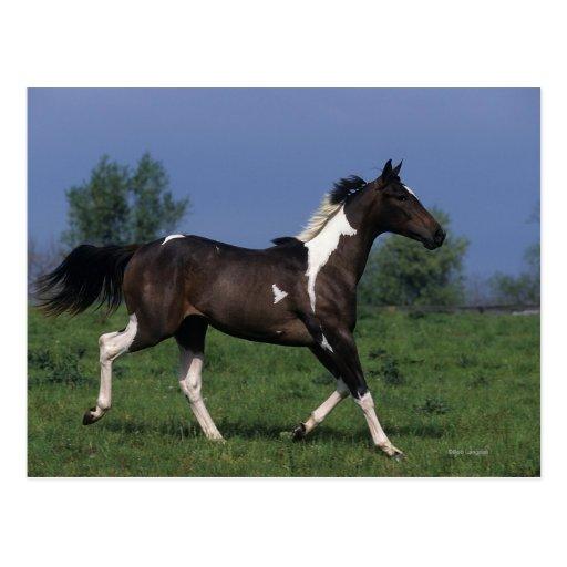 Paint Horse Running 2 Post Card