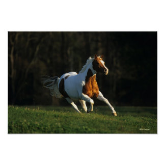 Paint Horse Running Fast Poster