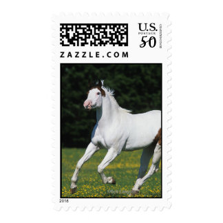 Paint Horse Running in Grassy Field Postage