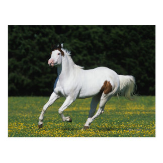 Paint Horse Running in Grassy Field Postcard