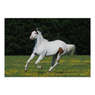 Paint Horse Running in Grassy Field Poster