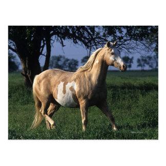 Paint Horse Standing 2 Postcard