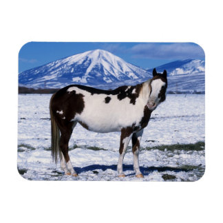 Paint Horse Standing in the Snow Magnet