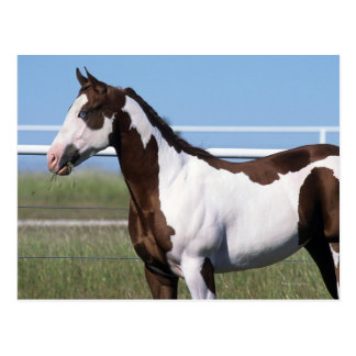 Paint Horse Standing Post Cards