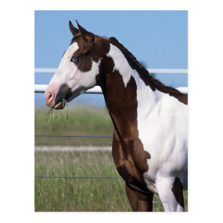 Paint Horse Standing Postcards