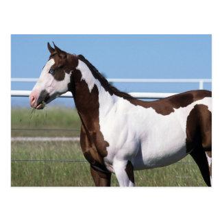 Paint Horse Standing Postcard