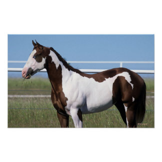Paint Horse Standing Poster