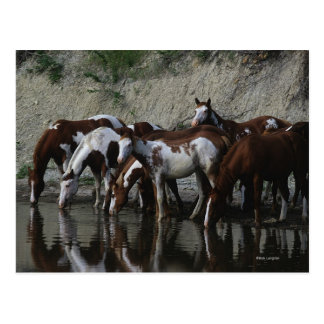 Paint Horses Drinking Postcard