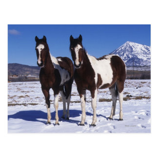 Paint Horses Standing in the Snow Postcard