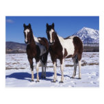 Paint Horses Standing in the Snow Postcards